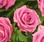 Cosulet trandafiri roz